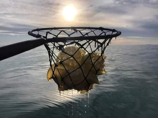 Supervisa Ecología y Protección Civil pesca de aguamala en el Golfo